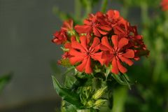 Lychnis chalcedonica flower. Red Lychnis chalcedonica flower in the garden Stock Photography