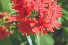 Red Lychnis chalcedonica flower. In the garden Royalty Free Stock Images