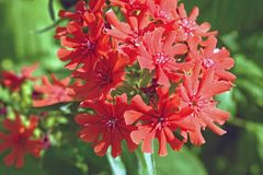 Red Lychnis chalcedonica flower. In the garden Royalty Free Stock Photos