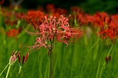 Bloomimg red lycoris radiata. Red lycoris radiata are blooming on the green grassland in September royalty free stock image