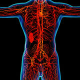 Red  lymphatic system Royalty Free Stock Photography