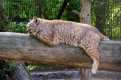 The red lynx bobcat sleeps lying stock image