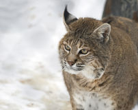 Red lynx or Bobcat. Stock Images