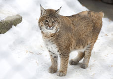 Red lynx or Bobcat. Stock Photos