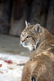 Red lynx or Bobcat. Stock Photo