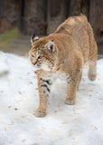 Red lynx Royalty Free Stock Photos