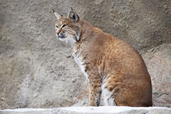Red Lynx on a rock. In zoo Royalty Free Stock Photos