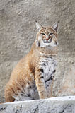 Red Lynx on a rock. In zoo Stock Images