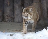 Red lynx Royalty Free Stock Photo