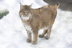 Red lynx Stock Photography