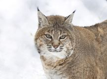 Red lynx. Is a species of lynx native to North America Stock Photo