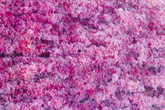 Red Macarenia clavigera Stock Photography