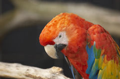Red Macaw. Head Close Up Royalty Free Stock Photos