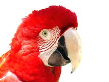 Red macaw Royalty Free Stock Photo