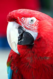 Red Macaw Royalty Free Stock Images