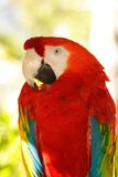 Red Macaw. Colorful red macaw parrot on a light background Royalty Free Stock Photo