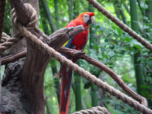 Red Macaw. On a tree branch Royalty Free Stock Photo