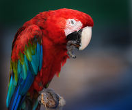 The Red Macaw. Cleaning its claws Royalty Free Stock Photo