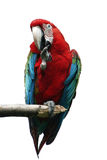 Red Macaw. Parrot royalty free stock photos