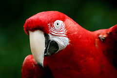 Red macaw. A close up portrait of a red macaw at the zoo Stock Photos