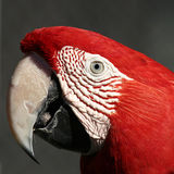Red Macaw. Face and beak of red macaw Stock Images