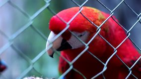 Red Macaw. In an animal reserve in Misiones, Argentina stock footage