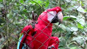 Red Macaw stock video footage