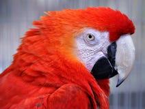 Red macaw (Ara ararauna) Royalty Free Stock Images