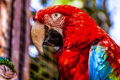 Red Macaw or Ara cockatoos parrot closeup Stock Photos