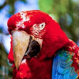 Red Macaw or Ara cockatoos parrot closeup Royalty Free Stock Images