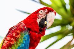 Red Macaw or Ara cockatoos parrot closeup Royalty Free Stock Photography