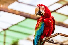 Red Macaw or Ara cockatoos parrot Stock Images