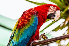 Red Macaw or Ara cockatoos parrot. Siting on metal perch Royalty Free Stock Photo
