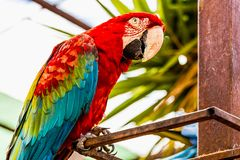 Red Macaw or Ara cockatoos parrot Stock Image