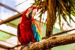 Red Macaw or Ara cockatoos parrot Stock Photography