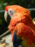 Red macaw (Ara macao). Profile of beautiful and colourful macaw Royalty Free Stock Photo