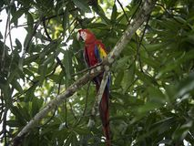 Red Macaw sits on tree branch, colorful plumage stock photography