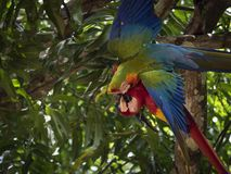 Red Macaw Ara macao and Yellow-breasted Macaw flutter in quarrel stock photography