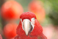 Red macaw bird Stock Photos