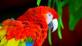 Red macaw bird. Sleepy looking colorful macaw bird stock video footage