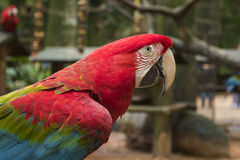 Red macaw in a brazilian park. Endangered red macaw in a brazilian preservation park Stock Photos