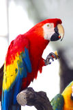 Red macaw eating apple Royalty Free Stock Photo