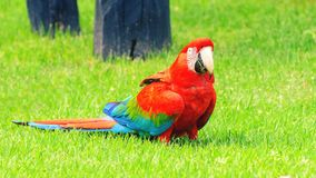 Red macaw on the ground of green grass. Bird from Brazil, also known as Arara Vermelha Royalty Free Stock Image