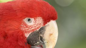 Red macaw. stock video footage