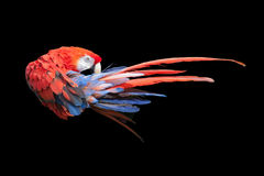 Red macaw. Isolated by black background Stock Photo
