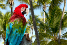 Red Macaw on the nature Royalty Free Stock Image