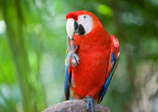 Red macaw parrot. Royalty Free Stock Photography