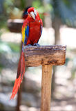 Red macaw parrot. Royalty Free Stock Images