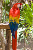 Red macaw parrot. Stock Photo