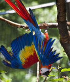 Red Macaw Parrot Stock Photo